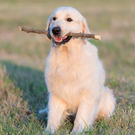 Why do dogs like sticks