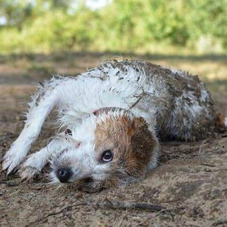 Why do dogs roll in poop and other smelly things