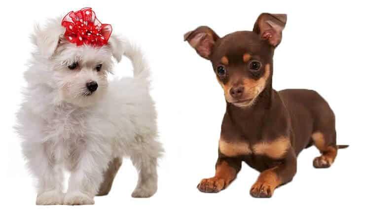 Chihuahua Maltese Mix look