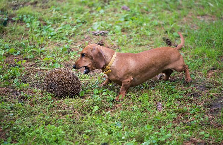 Dachshunds the hunting dog