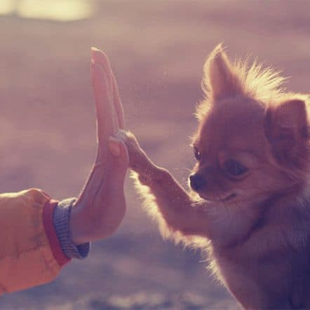 Do Chihuahuas love their owners