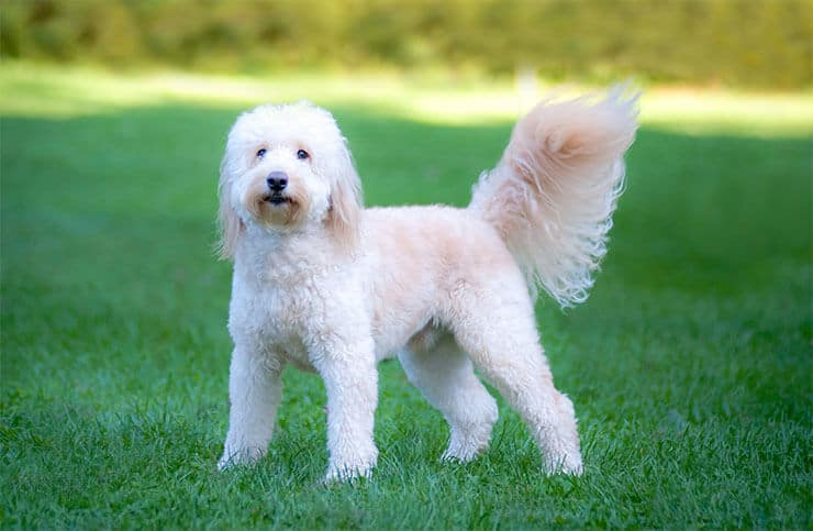English Goldendoodle personality