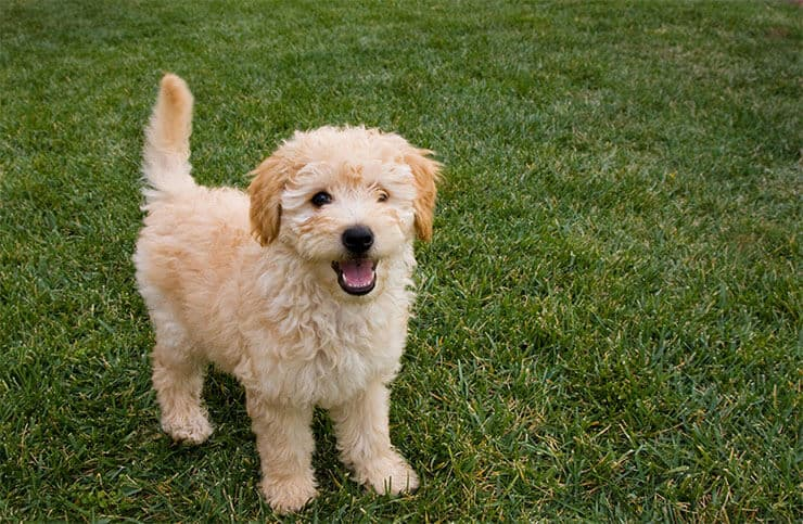 English Goldendoodle puppy