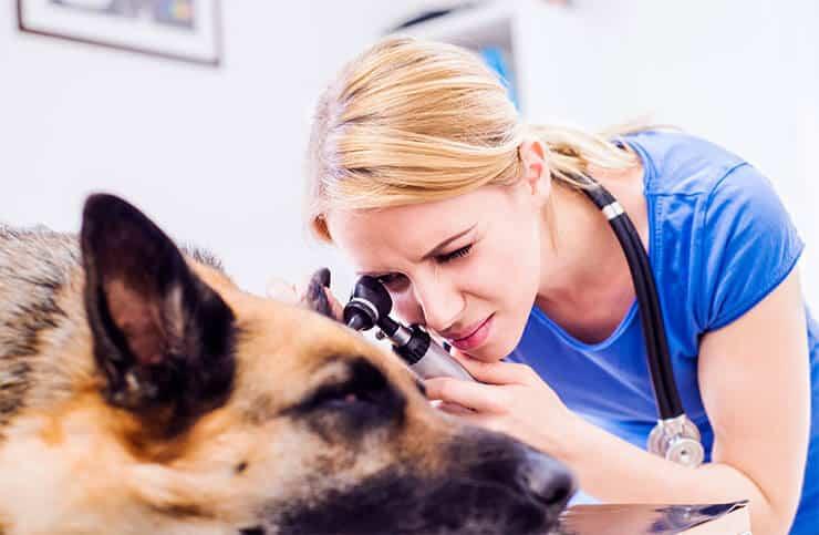 German Shepherd health