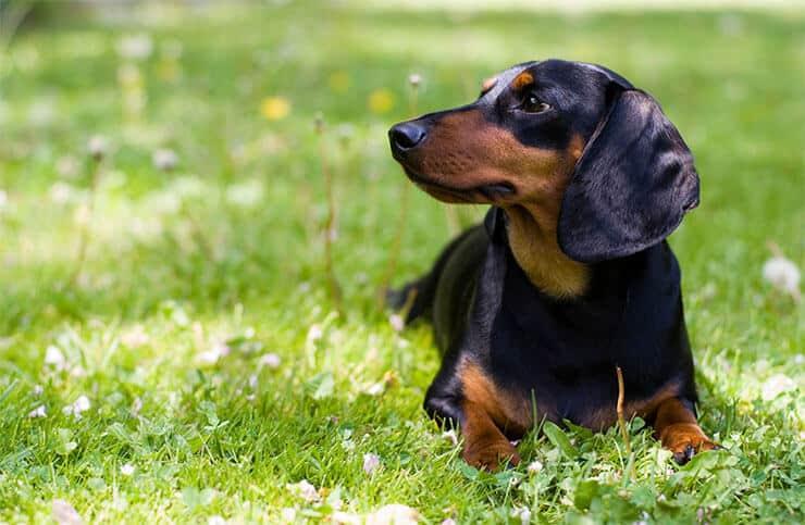 How long do Dachshunds live