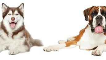 Husky Boxer Mix