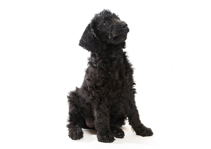 Labradoodle appearance