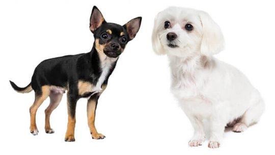 Maltese Chihuahua Mix Malchi