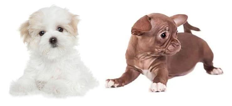 Maltese Chihuahua Mix puppy