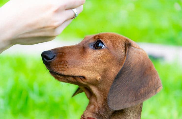 Retrain your Dachshund's behavior