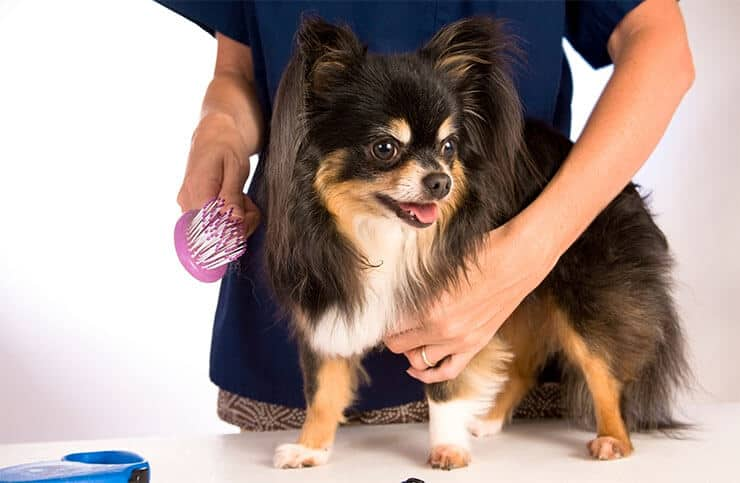 Tips to keep your Chihuahua's love