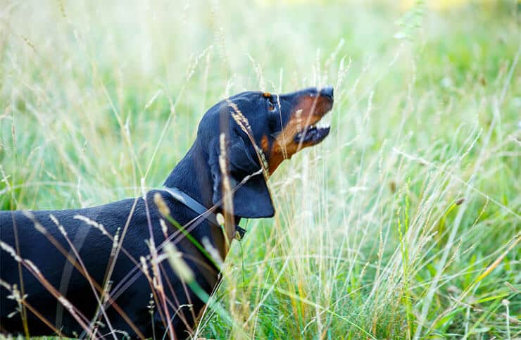 What triggers your Dachshund's barking