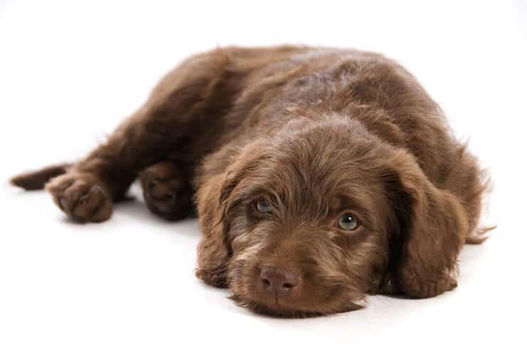 Why are F1B Labradoodle so popular