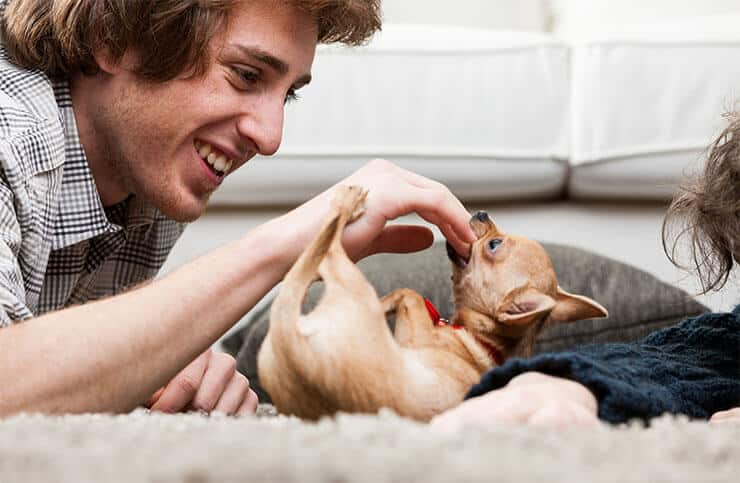 Why do Chihuahua owners encourage inappropriate behavior