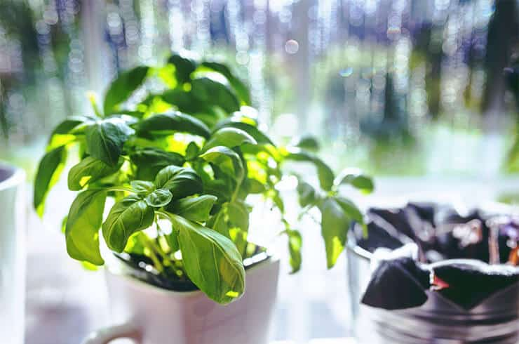 Basil's benefits for dogs