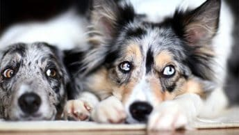 Collie eye anomaly