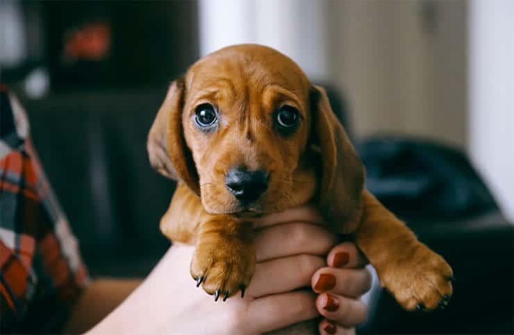 Dachshund small dog syndrome