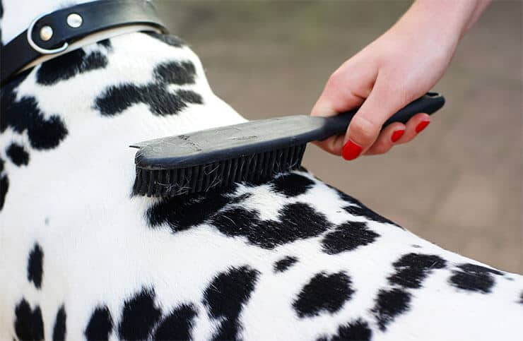 Dalmatian grooming