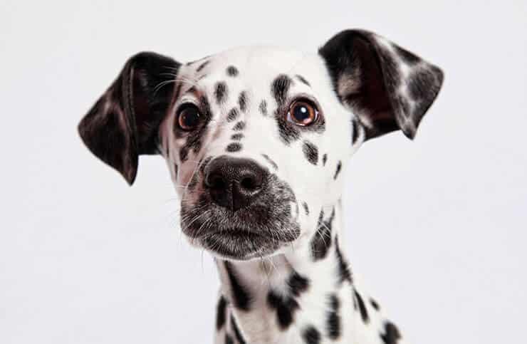Dalmatian personality