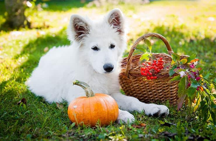 Dog eating pumpkin