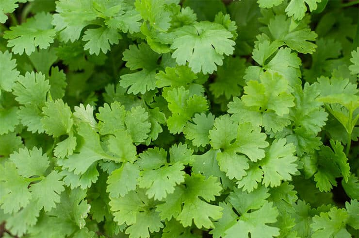 How much is cilantro safe for dogs