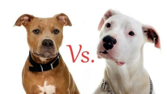 Dogo Argentino Vs. Pit Bull