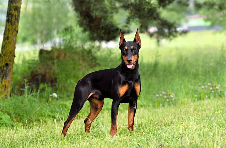 German Pinscher size and look