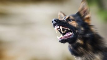 Rage syndrome in dogs
