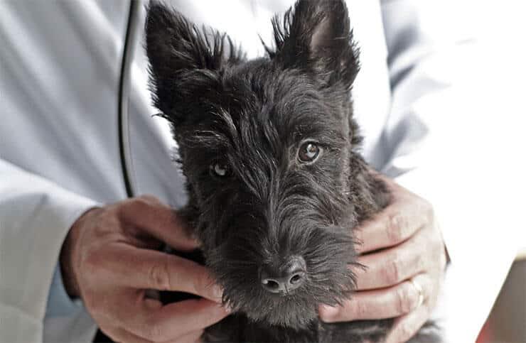Scottish Terrier health