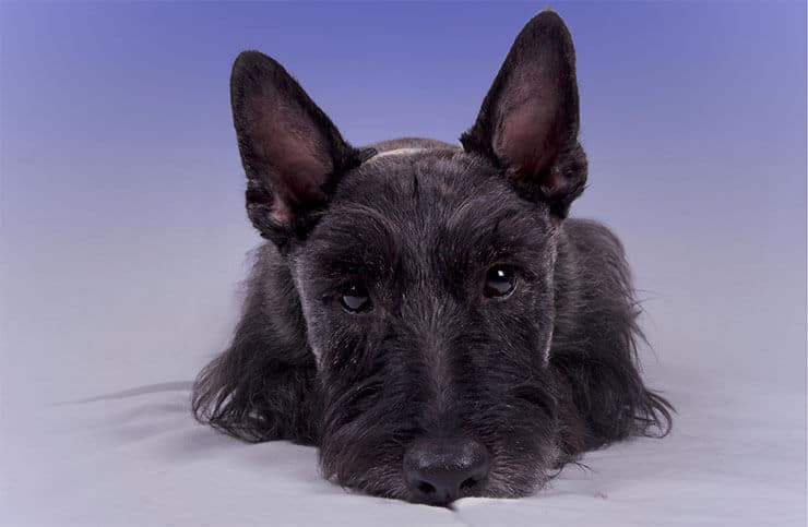 Scottish Terrier personality