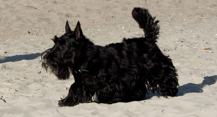 Scottish Terrier size and look