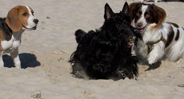 Scottish Terrier training