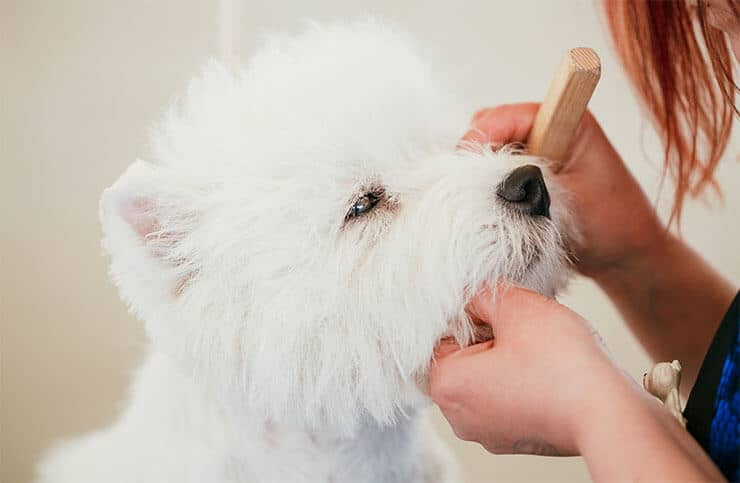 West Highland White Terrier grooming