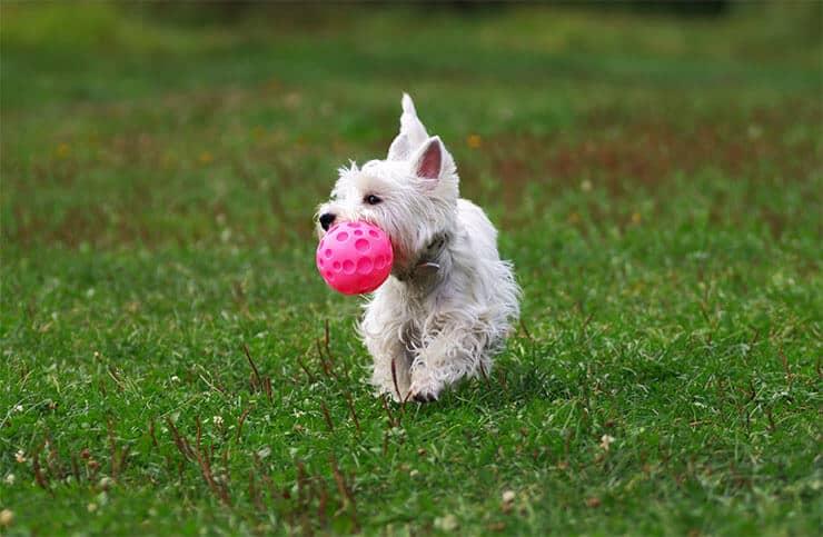 West Highland White Terrier training
