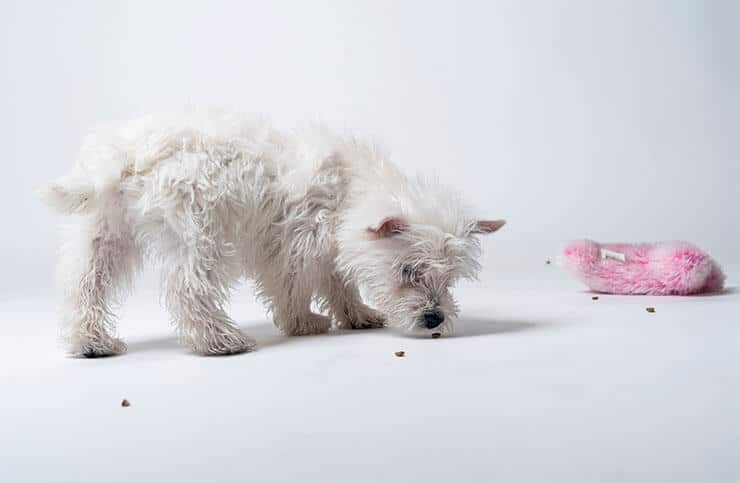 Westie with food allergy