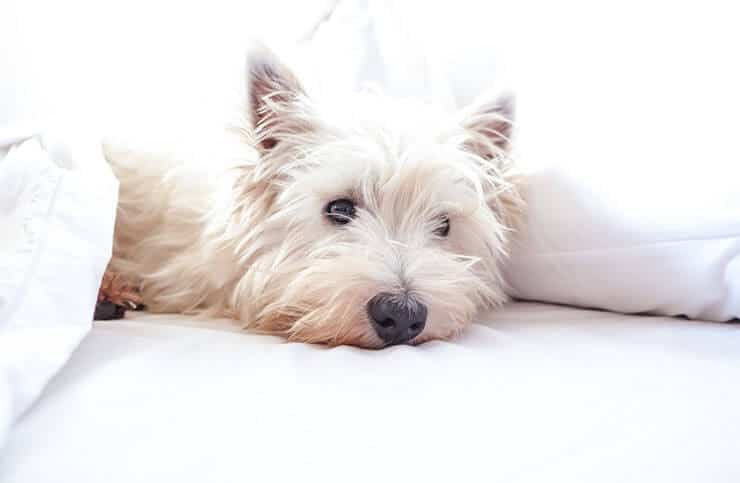 What are the symptoms of Westie lung disease