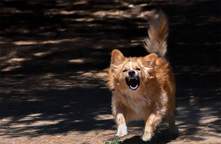 What causes rage syndrome in dogs