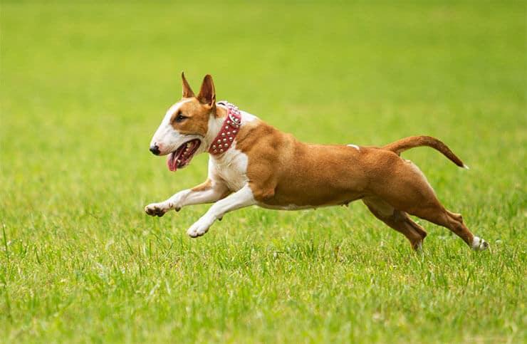 Bull Terrier coat colors
