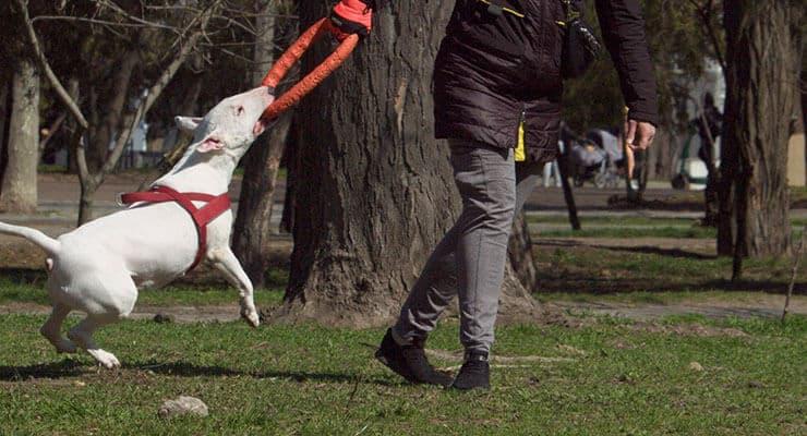 Bull Terrier exercising