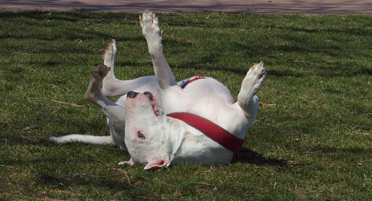 Bull Terrier personality