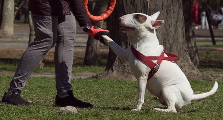 Bull Terrier training