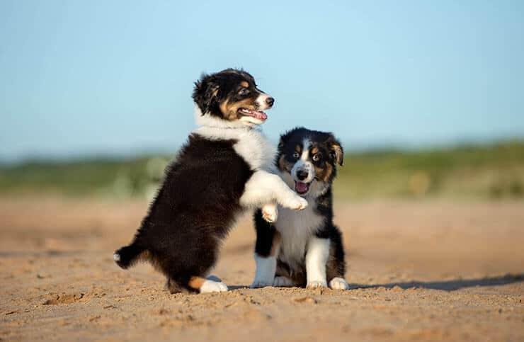 Choosing Australian Shepherd puppy