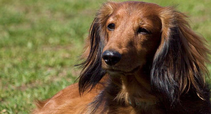 Long-Haired Dachshund history