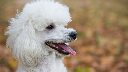 Poodle Dogs 101