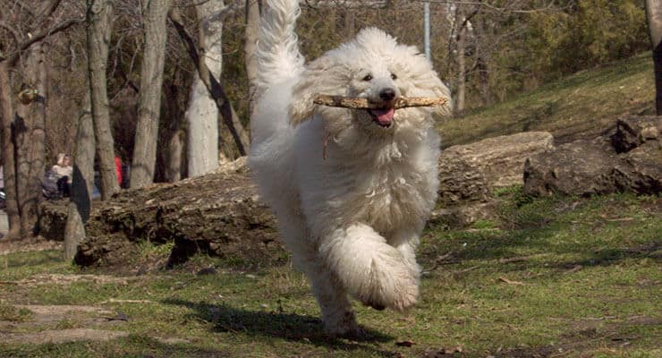 Poodle exercising