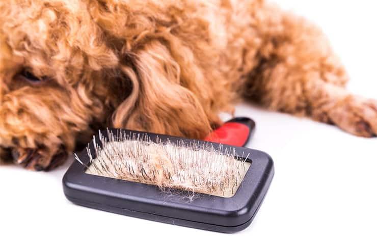 Poodle shedding