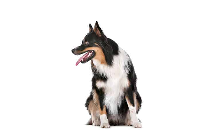 How to recognize obesity in Border Collies