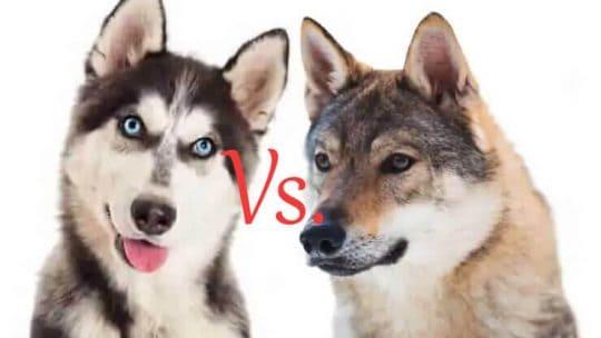 Husky Vs. Wolf