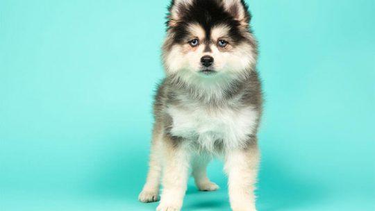 Pomeranian Husky Mix