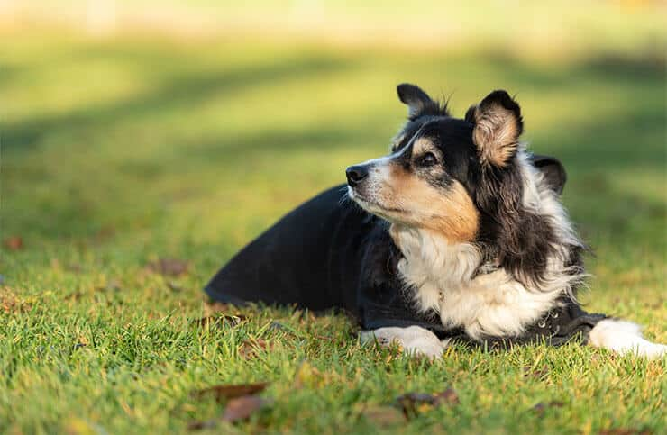 What is obesity in Border Collies
